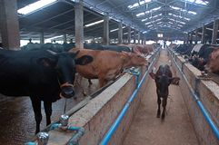 Indústria leiteira em India imagem de stock