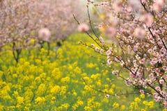 Indústria pêssego e da flor-flor e da plântula cor-de-rosa da ameixa Foto de Stock Royalty Free