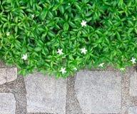 Inda在大理石石头的叶子树绿色背景  库存图片