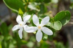 Inda vit blomma Arkivbild