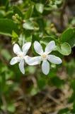 Inda vit blomma Fotografering för Bildbyråer