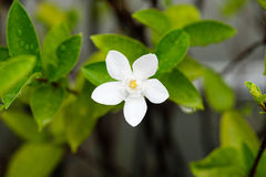 Inda vit blomma Royaltyfri Foto