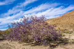 Indaco Bush del Mojave Fotografia Stock Libera da Diritti