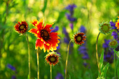 Indain blanket flowers Stock Images