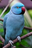 Indain Ringed Necked Parrot Royalty Free Stock Image