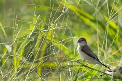 Indian Silverbill on green Stock Photography