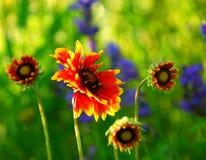 Indain umfassende Blumen Stockfotografie