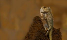 Indan变色蜥蜴(蜥蜴)特写镜头 免版税库存图片