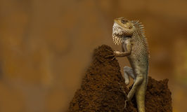 Indan Chameleon (Lizard) closeup Royalty Free Stock Image