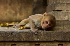 Inde de Galta Singe Photo libre de droits