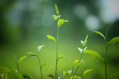 Inde de tinsukia d'Assam d'usines de thé images libres de droits