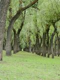 Inde de Willow Tress In Forest Nursery In Kashmir Valley image libre de droits