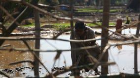 INDE, GOA - DÉCEMBRE 2011 : Fille indienne travaillant dans les domaines de riz banque de vidéos