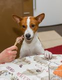 Indecisive basenji dog at dinner table Stock Images