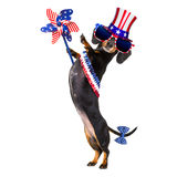 Independence day 4th of july dog. Dachshund sausage dog waving a flag of usa and victory or peace fingers on independence day 4th of july, isolated on white Royalty Free Stock Image