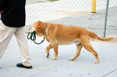 Independent Dog. A dog out walking his human. You will notice who has the leash stock photography
