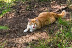 Independent red cat ready for attack demonstrates predator instinct. Independent wild red cat, defending its own territory is agressive and ready for attack. It Royalty Free Stock Photo