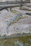 Inder Gharial-Krokodil-Nahaufnahme Stockfotos