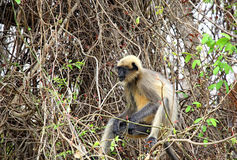 Inder Gray Langur Stockfotos