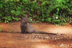 Inder Gray Mongoose, Sri Lanka lizenzfreie stockfotos
