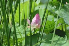 Inder Lotus, heiliges Lotus, Bean von Indien Lizenzfreie Stockbilder
