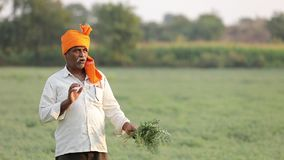Indiański rolnik przy chickpea polem, średniorolna pokazuje chickpea roślina zbiory