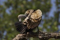 Indiański sęp, Gyps indicus, Bandhavgarh park narodowy, Madhya Pradesh, India obrazy stock