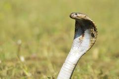 Indiańskiej kobry królewiątka kobry węża ostrości duży wąż obraz royalty free