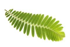 Indiańscy agrest zieleni liście na białym tle Obrazy Royalty Free