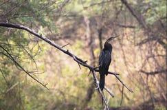 Indiańscy Darters lub Snakebirds odpoczywa w bagna terenie Keoladeo park narodowy, Indai obrazy royalty free