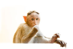 Indiańscy makaki, czapeczka makaki lub lat, Macaca radiata fotografia royalty free