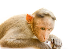 Indiańscy makaki, czapeczka makaki lub lat, Macaca radiata obraz stock
