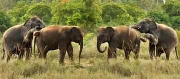 Indiańscy słonie obrazy stock