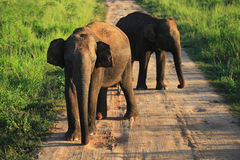 Indiańscy słonie na drodze w Uda Walave park narodowy Zdjęcie Royalty Free