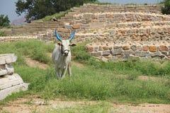 Indiańska święta biała krowa z błękitem uzbrajać w rogi krowa spacery na gazonie blisko ruin antyczna świątynia w Hampi, Karnatak Fotografia Royalty Free