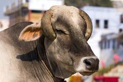 Indiańska święta krowa zdjęcie stock