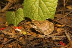 Indiańska Grzebie żaba, Sphaerotheca breviceps, Mumbai Obraz Stock