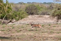 Indiańska jelenia osi oś zdjęcia royalty free