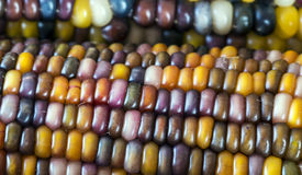 Indiańska kukurudza Zdjęcie Stock
