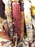 Indiańska kukurudza jest bardzo kolorowa fotografia stock