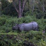 Indiańska nosorożec Zdjęcie Royalty Free