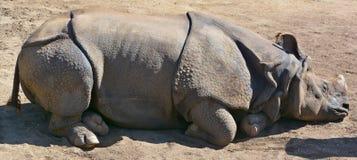 Indiańska nosorożec Obraz Stock