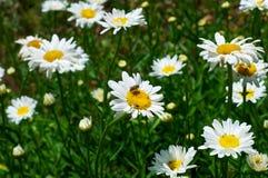 Indiańska pszczoła na kwiacie blisko do pałac zdjęcie stock