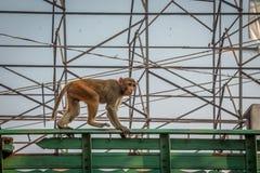 Indiańska złoto małpa - Agra, India Obrazy Stock