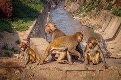 Indiańska złoto małpy rodzina - Agra, India Zdjęcie Royalty Free