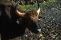 Indiański żubr - Gaur Obraz Stock