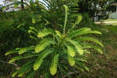Indiański agrestowy liść Fotografia Stock