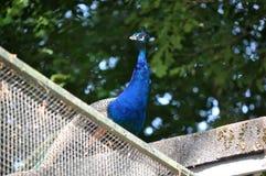 Indiański Błękitny Peafowl Zdjęcie Royalty Free