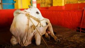 Indiański biały byk odpoczywa w świątyni, Gokarna, India Byki i krowy rozważają święci zwierzęcy indianie w India obraz royalty free