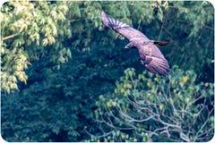 Indiański Czarny Eagle furażuje w baldachimu zdjęcia royalty free